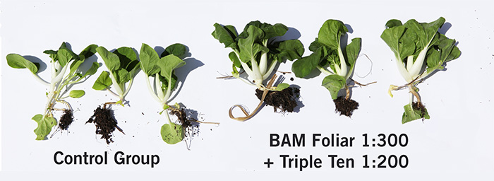 BAM trials on bok choy