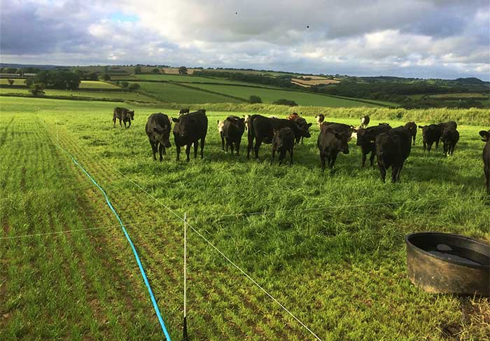 cell grazing cattle