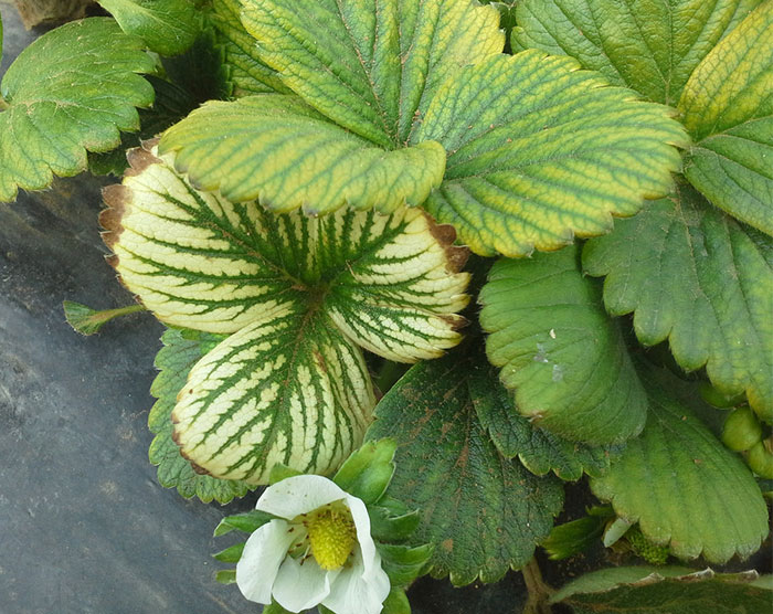 chlorosis strawberry white