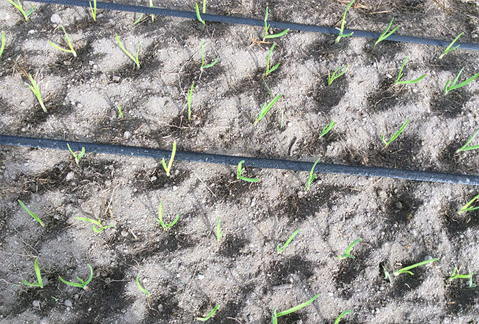 garlic shoots after platform and seed-start