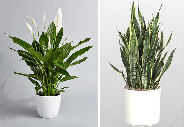 air cleaning peace lily snake plant