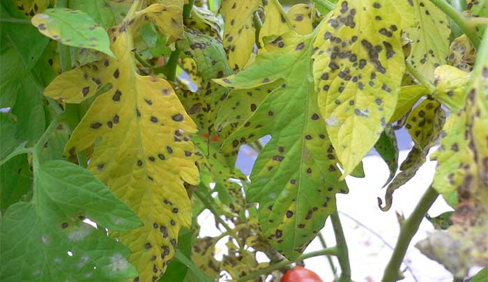 potassium deficiency tomato brown spot